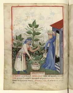 Nouvelle acquisition latine 1673, fol. 44v, Récolte des haricots. Tacuinum sanitatis, Milano or Pavie (Italy), 1390-1400.  Keywords: liripipe, chaperon, bag, purse, knife, houppelande