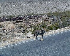 DEATH VALLEY AND IT'S MANY DIFFERENT TYPES OF LANDSCAPE / COYOTE
