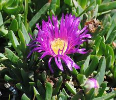 Pigface | Australian Bush Tucker Food Edible Plants -- A ground running creeper with fleshy leaves and little purple flowers or purple fruit. Can be eaten raw or boiled and eaten as greens. You can apply the juice to sandfly bites or make a poultice of crushed leaves to apply to burns and scalds. The Ngaruk willum people of Port Phillip Bay Victoria used it as a balm to minimise pain. Aborigine Permaculture