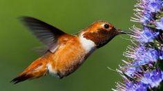 Why do I see fewer hummingbirds in midsummer? Beautiful Birds, Beautiful World, Backyard Birds, Backyard Ideas, Little Birds, Bird Species, Pet Birds, Cute Animals, Photos