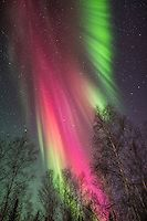 Aurora borealis and birch trees | AlaskaPhotoGraphics.com