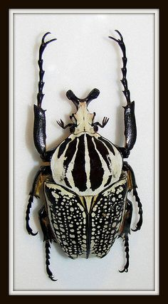 Goliath Beetle - Photo by Michelle at Montreal Bunny Flickr