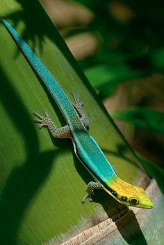Yellow-Headed Day Gecko More