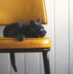 yellow eyes cat