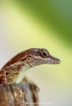 Lézard - Anolis Gingivinus femelle sortant d'une noix de coco - St-Barth - FWI - © Tony Duarte