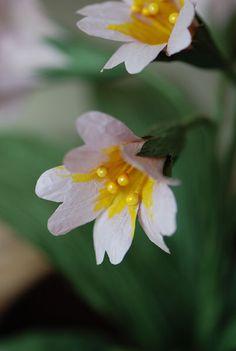 paper flower primrose