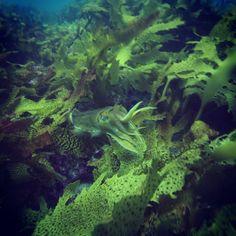 #cuttlefish