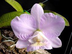 Cattleya nobilior (do Centro Oeste do Brasil à Bolívia).