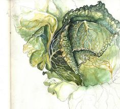crushculdesac: playinprogress:cabbage study 1 by Amy Holliday Art And Illustration, Illustrations, Watercolor Illustration, Botanical Drawings, Botanical Prints, Painting & Drawing, Watercolor Paintings, Watercolours, Watercolor Techniques
