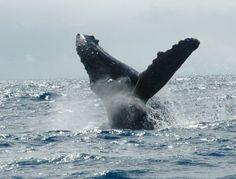 Sie wollen Grauwale in freie Wildbahn sehen? Dann buchen Sie eine Kanada-Reise mit SK-Touristik - mehr Informationen nach dem Klick aufs Bild.