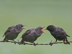 Starling  Population size: 1.9 million pairs in 2009. Starlings are famous for gathering in huge flocks, moving in sync to form startling 'murmurations' in the winter months, which could make this species' position hard to understand. However, Starling breeding numbers have fallen by 70% in the 25 years to 2014, and 83% since 1969.