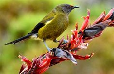 New Zealand Bellbird (Anthornis melanura) Sea Birds, Love Birds, Beautiful Birds, Animals Beautiful, Nature Journal, Weird And Wonderful, Archetypes, Animal Kingdom, Mammals