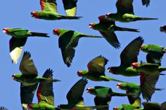 Discover The Parrots of Telegraph Hill in San Francisco, California: Staircase winds down the side of Telegraph Hill through gardens, wild parrots flying overhead. Parrot Flying, Parrot Bird, Budgies, Parrots, Parrot Image, San Francisco Girls, Cute Kawaii Animals, Rare Birds, Conure