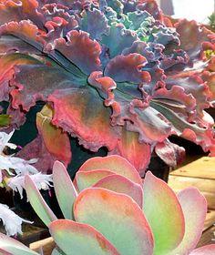 What a beautiful succulent, amazing colors, looks like lettuce...(Ruffled Echeveria).