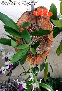 Coconut planter for orchids Orchid Planters, Orchids Garden, Garden Crafts, Garden Projects, Air Plants, Indoor Plants, Exotic Flowers, Beautiful Flowers, Orchid Flowers