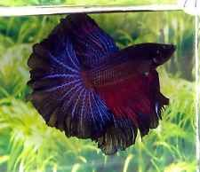 H129 Thai Import Multicolor Orchid Halfmoon HM Male Betta Splendens Live Fish