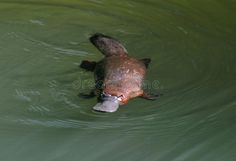 Elusive Australian Duck Billed Platypus,queensland Stock Photo - Image of elusive, footed: 25998338 Melbourne, Sydney, Blue Pool, Airlie Beach, Great Barrier Reef, Cairns, Duck Billed Platypus, Baby Platypus, Pet Spider