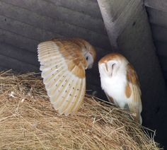 Barn Owls by Phil. Very dramatic.