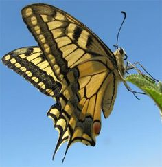 Weird Science @weird_sci  ·    Japanese yellow swallowtail butterflies have photoreceptors on their posteriors. I.e., they see with thei...