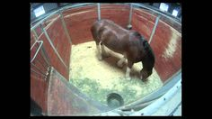 GoPro Time Lapse Captures  Budweiser Clydesdales Horse Eating 50 Pounds! Horses | wow | food | hay | budweiser | clydesdales
