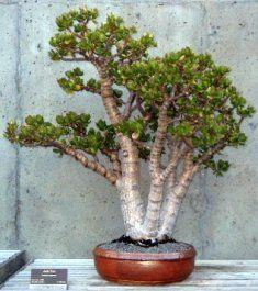 Portulacaria afra is easy to develop as a jade bonsai, much easier than the larger leaf jade-Crassula argentea. Jade Plant Bonsai, Succulent Bonsai, Jade Plants, Bonsai Garden, Cacti And Succulents, Acer Palmatum, Bonsai Pruning, Bonsai Trees, Crassula Ovata