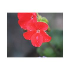 Red flower with water droplet photo canvas