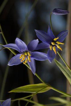 Nodding blue lily, Warrumbungle National Park, New South Wales.
