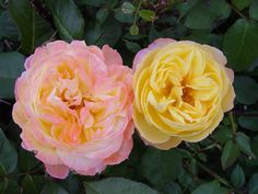 'Summer Glow'; repeat flowering, old, soft golden-yellow with attractive glowing pink blush.