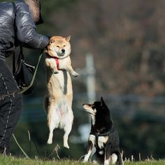 Oh no! That's no way to hold a Shiba! Lol! Imagine the indignation!