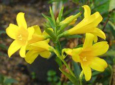 10 Best Carolina Jasmine Images Carolina Jasmine Garden Plants