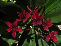 "11-12"" Dark Red Plumeria Frangipani Cutting. Single Tip, (Scott Pratt)"