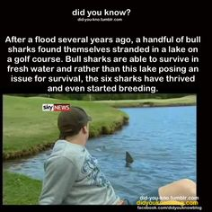""""""" After a flood several years ago, a handful of bull sharks found themselves stranded in a lake on a golf course. Bull sharks are able to survive in fresh water and rather than this lake posing an. Wtf Fun Facts, Funny Facts, Random Facts, The More You Know, Did You Know, Unbelievable Facts, Animal Facts, Shark Week, Things To Know"""