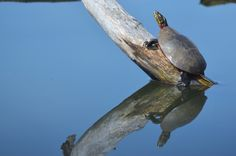 Painted Turtle ~ Brandace Myers 2015