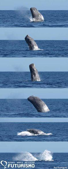 Sperm whale breach sequence.