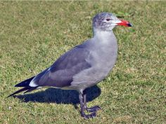 Heermann's Gull (Larus heermanni) by  Elaine_R_Wilson.