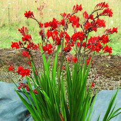 Crocosmia 'Dragonfire' brings a whole new level of red hot to small gardens. Vigorous and compact, 'Dragonfire' won't flop where others flailed,… Flowers Perennials, Planting Flowers, Full Sun Perennials, Shade Garden, Garden Plants, Beautiful Gardens, Beautiful Flowers, Crocosmia, Heuchera