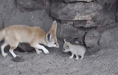 Mother Fennec Fox Cleaning Her Baby. The cute hurts so much.