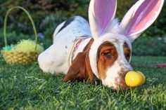 Easter bunny basset ...I'm so doing this with Dudley!