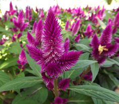 Image result for Celosia
