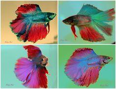Beta fish so beautiful, in water.