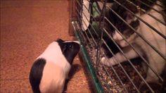 świnka vs. kot