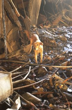 Canine Heroes. 9-11-2001 <3  I heard this dogs suffered all sorts of stress problems because they could never find anyone.  Handlers took turns hiding in rubble to be located because the dogs were freaked out.  So sad.  My class raised $$ for search dog shoes among other things.