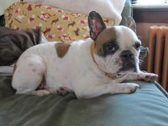 Dash is an adoptable French Bulldog Dog in Evanston, IL. Dash has had a rough go in life but is really one mellow fellow. He likes nothing better than to be with his human(s) and to get loved on - he ...