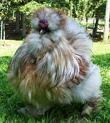 Are you sure you are a chicken? You look like a fur-ball!!