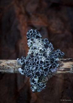 Week 1 - Natural Forms Lichen Apothecia