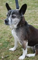 Delta Rose is an adoptable Chihuahua Dog in Livonia, MI. You can fill out an adoption application online on our official website. If interested in any of our animals for adoption, or to foster an anim...