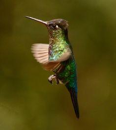 https://flic.kr/p/WhVDng | Colibri insigne - Fiery-throated Hummingbird | San Gerardo de Dota, Costa Rica