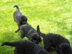 Newfoundland puppies trying to catch a racing Doxie