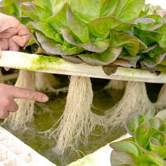 A groundbreaking new way to economically boost dissolved oxygen (DO) levels in your #irrigation system and enhance plant health and production. Eric at Produce Alive in Loomis, California uses the BioTherm TOOB to boost root growth in his #hydroponic lettuce #greenhouse.