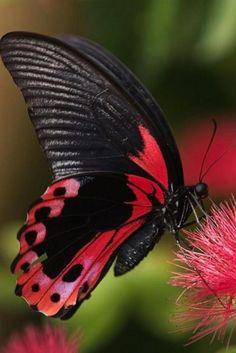photos de papillons, papillon rouge et noir juché sur une plante exotique